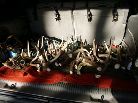 Deer antlers galore inside the shed hunter's truck