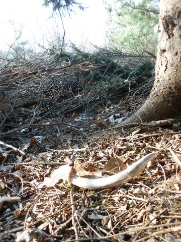 Deer antler shed 2