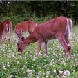 DTN  Deer Eating