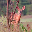 Antlerless harvest may be part of your management plan if the population supports killing some during the season. Working with biologists and conducting camera surveys along with sight logs during the season can help you decide on this aspect.