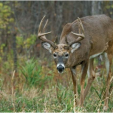 Deer Buck Growl Vocalization
