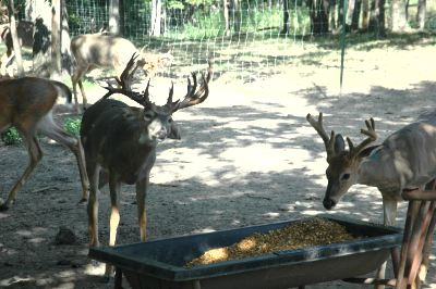 Some wildlife biologists believe that the expansion of deer farming will only threaten the future of free-range deer hunting.