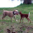Deer Fawn and Bulldog