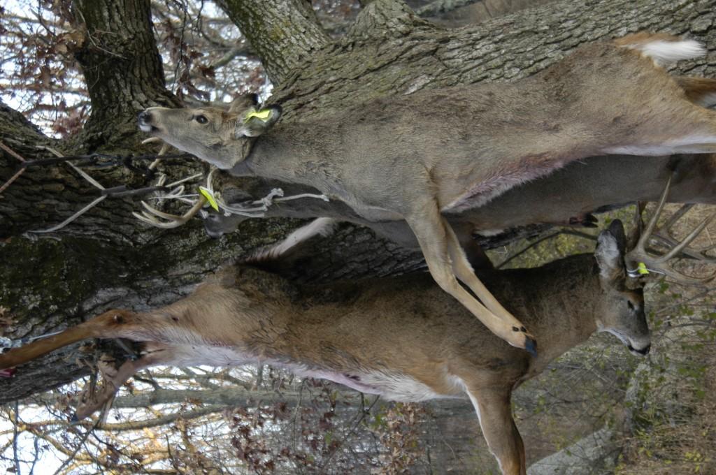Deer Hanging DSC5407