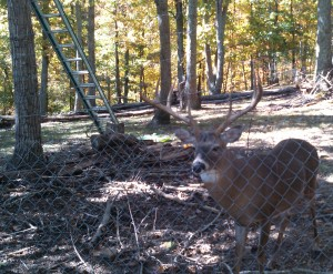 The deer in this enclosure attacked a Marshall County man and seriously injured him. (Photo: ADCNR)