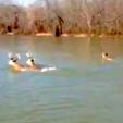 Deer Swimming across slough