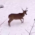 Deer buck arrowed on camera