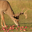 Deer eating apples in fruit orchard plot1