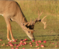 7 Killer Bowhunting Tips: Apple Trees and Other Fruit