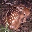 Deer fawn  photo by Todd Schneider GaDNR