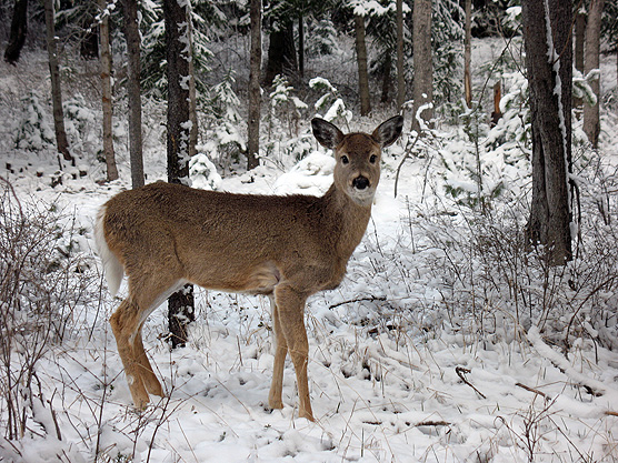 Deer in Snow NPSphoto