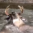 Deer locked bucks in water