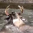 Deer locked bucks in water