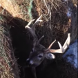 Deer stuck between bales of rolled hay
