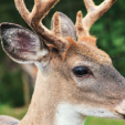 Deer use vision, hearing and sense of smell to warn them of danger.