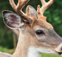 What Can Deer See and Hear When We Clank, Tink, Hack or Wiggle?