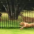 Dog and Doe on fence