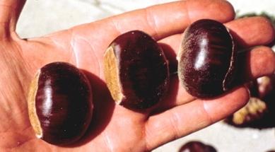 Dunstan chestnuts1