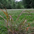 Dying Johnson grass sprayed with Weed Reaper.