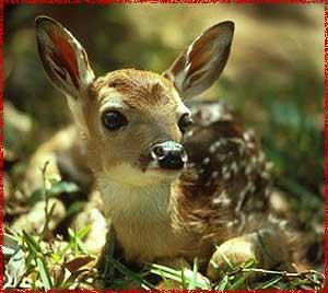 Fawn-Deer-deer-30735550-300-268