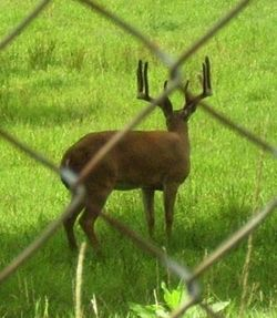 Fenced Whitetail