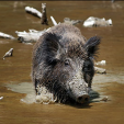 Feral hogs are a terrible problem for deer hunters and land managers in many Southeast states.