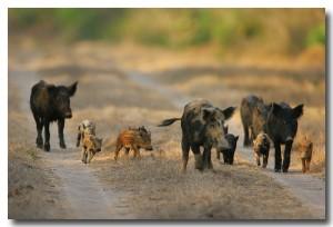 Feral Hogs2