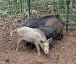 Feral hogs can wreak havoc in summer on food plots for wildlife and agricultural plots. Using game cameras to identify sounders and then trap them can help control populations. (Photo: ADCNR)