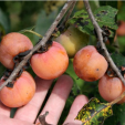 Persimmons are great for deer and grow well in optimal conditions, especially in the Southeast. They're super for early bow season stands when deer are looking for the tasty treats.