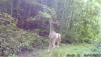 Curious Deer Can't Resist This Powerful Scent