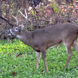 GEB  Buck in food plot