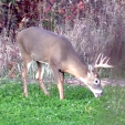 GEB Deer in clover plot 2