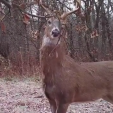 Mock scrapes and licking branches can keep bucks interested for many months.