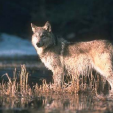 Gray Wolf photo by Corel Corporation