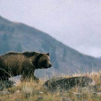 Grizzly bears are being monitored in Grand Teton National Park as part of a two-year study. (Photo: USGS)