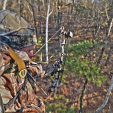 HABITAT  Pruning limbs for bowhunting2 hunter in stand