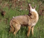 Put more emotion into calling to attract more coyotes and bobcats.