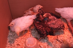 Chick tweens: unruly and aggressive and ready for a coop!