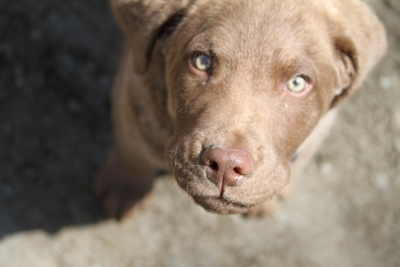 Rouge, our new Chesapeake Bay Retriever