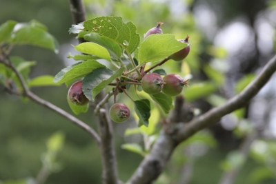 Apples will be ready in the fall!