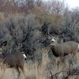 Idaho Mule Deer