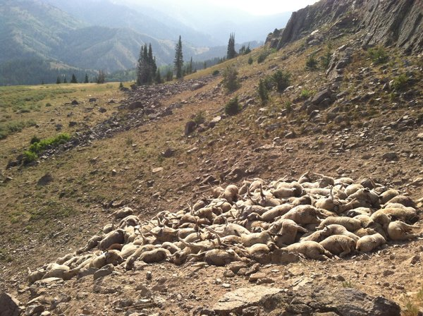 At least 176 sheep died after being chased or attacked by wolves in southeastern Idaho.
