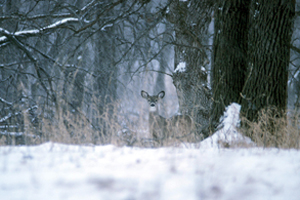 Illinois deer winter