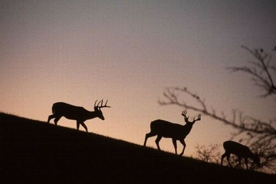 Whitetail deer are overpopulated at Manassas National Military Park in Virginia. (Photo: National Park Service)