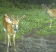 Minerals can help bucks build antlers and also help does during the gestation period.