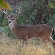 White-tailed deer use their incredible sense of smell to determine what's around them.