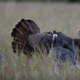 Mossy Oak Osceola Hunt video