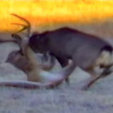 Mountain Lion takes down mule deer