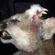 This young mountain lion with fangs and teeth growing from its head was killed in Idaho. (Photo: Idaho DNR)