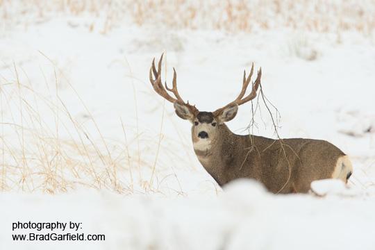 Mule Deer 4482